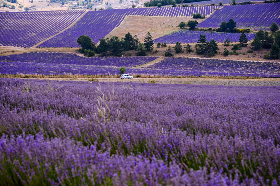 Purple lavender fields in Provence