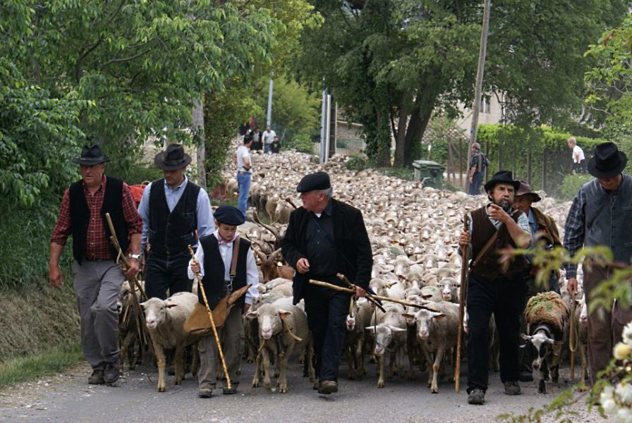 Sheep with shepherds in street for transhumance