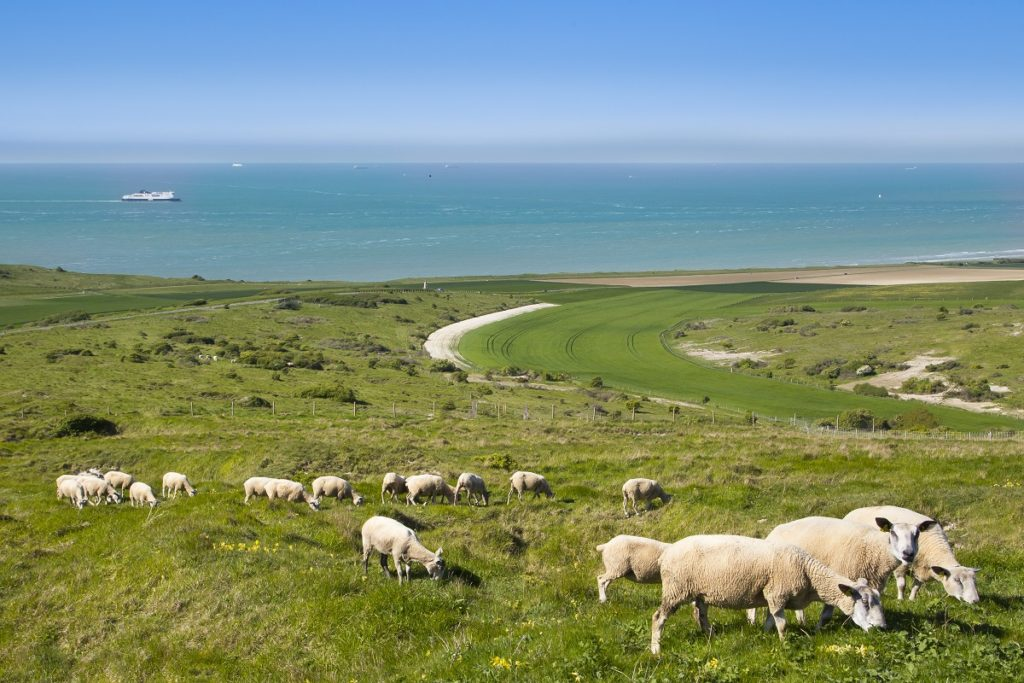 sheep in foreground on cliffs with paths overlooking the sea on the Cap