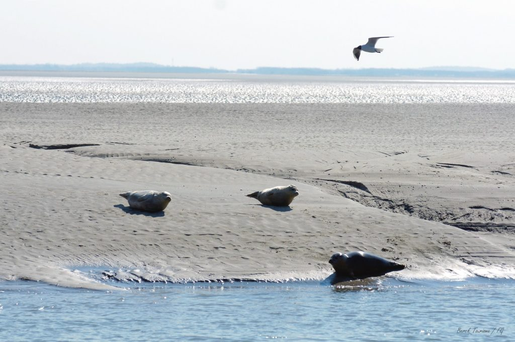 flat sand and sea with  basking seals at Berck sur Mer