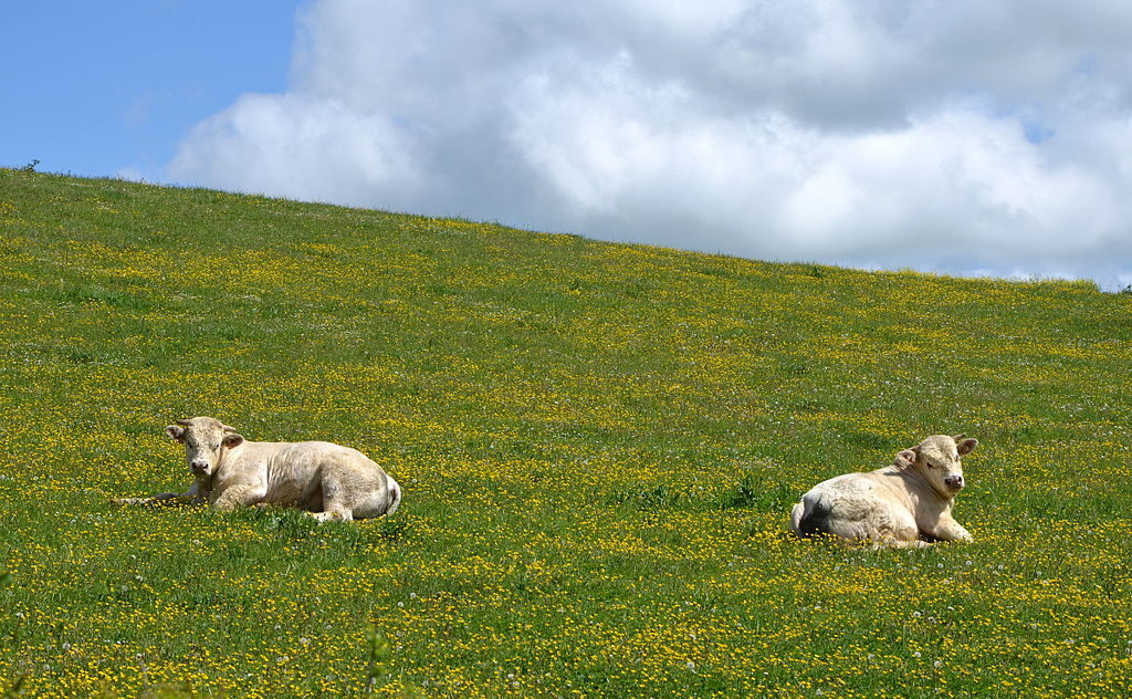 2 white charolais cattle lying down in a green field
