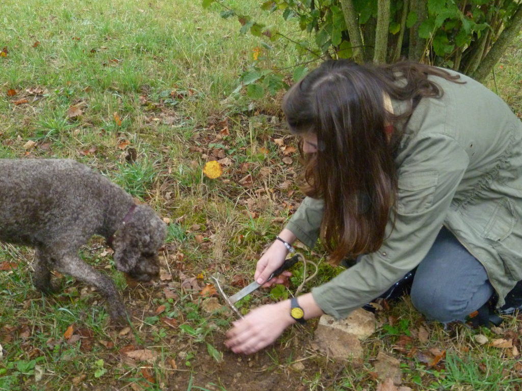 Truffle hunting with dog sniffing the ground and crouching girl retrieving the truffle from the ground
